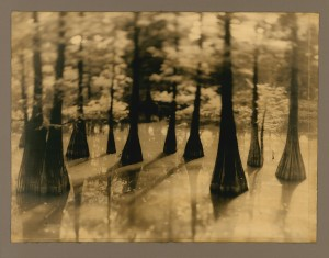 Cypress Trees Growing in Swamps by Jack Spencer