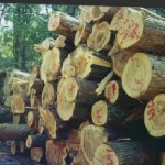 Cypress Logs Ready for Milling